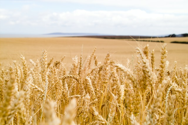 wheat interferes with your health